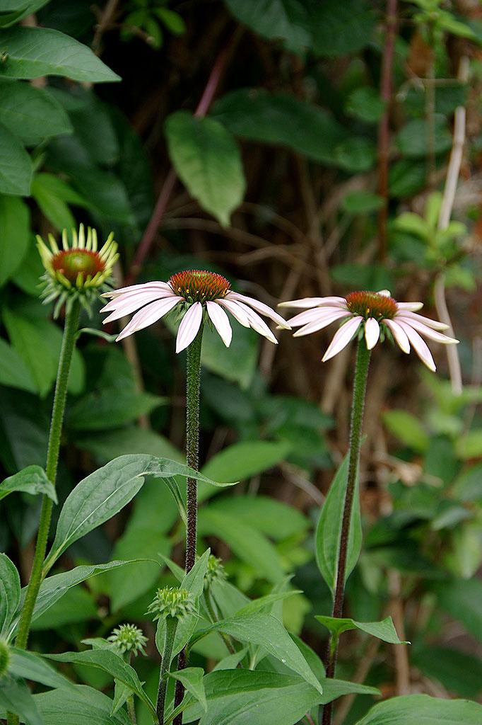 Solhatten, tidigare mest känd som rudbeckia, är en trogen perenn som blommar vackert år efter år.
