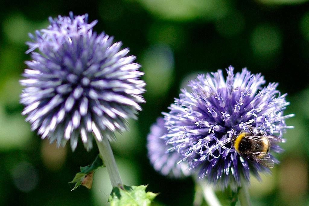 Den blå bolltisteln är en dekorativ perenn i dina rabatter som dessutom älskas av pollinerare.