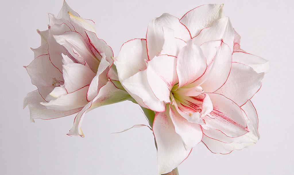 'Elvas' har dubbla blommor, någonting som syns extra väl tack vare den körsbärsröda kanten. Foto: Peter Karlsson