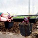 Rödbetan 'Bulls Blood' odlas bäst för bladens skull på hösten. Sorten är utvald av Sara Bäckmo till kollektionen Så året runt från Nelson Garden.