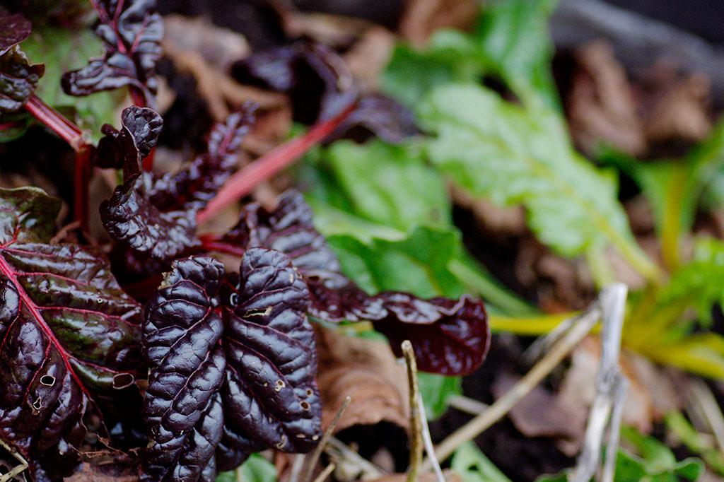 Mangold hör till en av de mest köldtåliga bladgrönsakerna. Kylan och bristen på ljus får färgerna att explodera!
