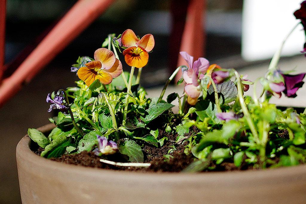 Penséernas pyttesmå fröer behöver sås i tid om du vill ha blommor tidigt i vår.