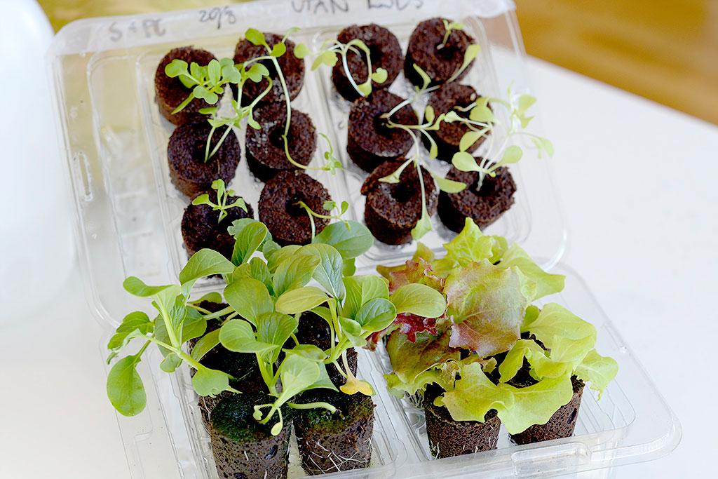 Plantorna som vuxit under växtbelysning har blivit knubbiga små plantor med rejäla rotsystem.