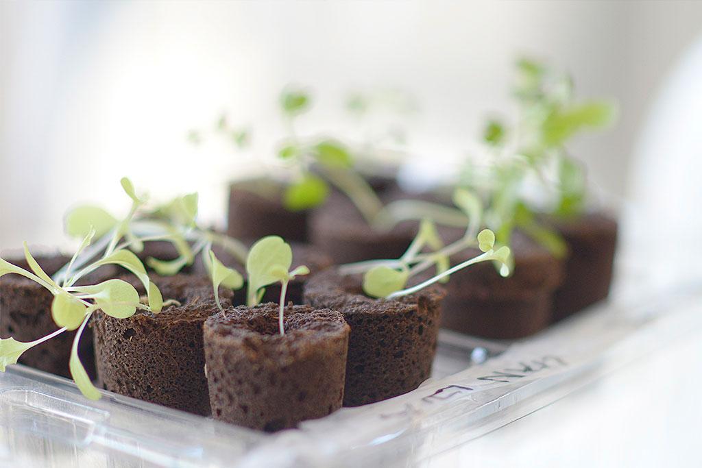 Utan växtbelysning blir plantorna långa och taniga. Dessa får svårt att klara omplantering, torka eller andra förändringar i miljön.