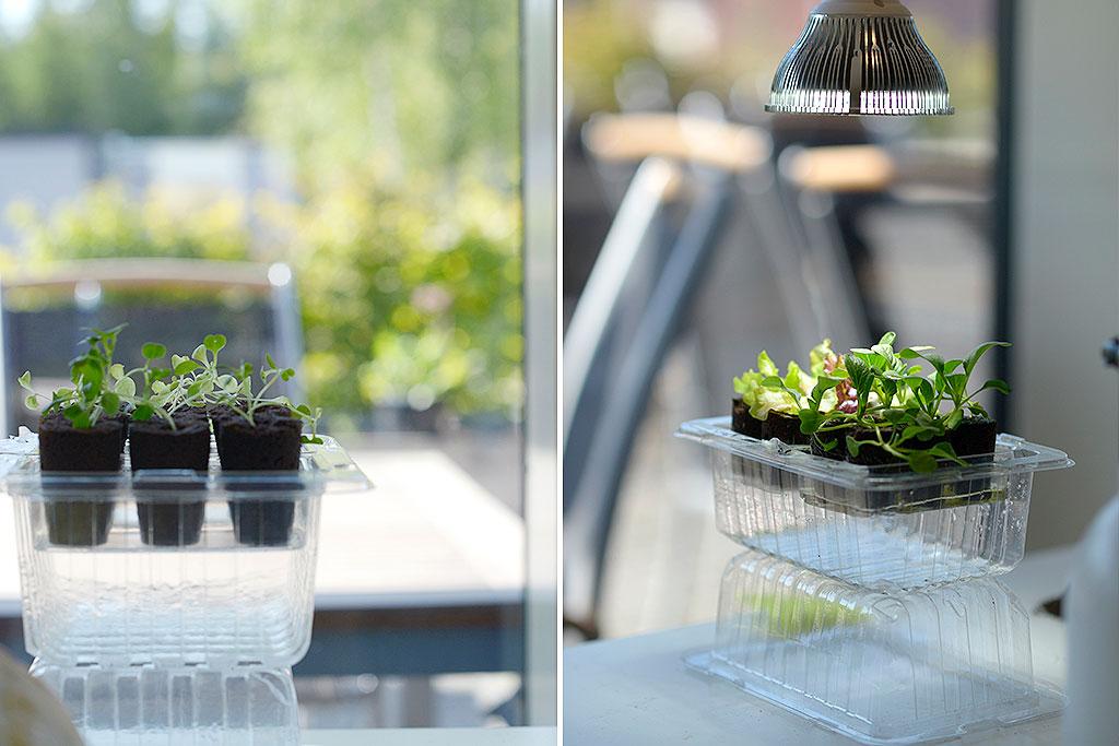 I slutet på augusti sådde vi sallat och pak choi i små drivhus vid fönstret. Vi lät den växa upp med respektive utan växtbelysning.