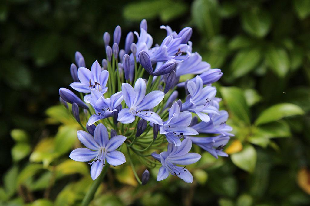 Afrikas blå lilja är en praktfull och förvånansvärt lättodlad blomma, men behöver tas in på vintern.