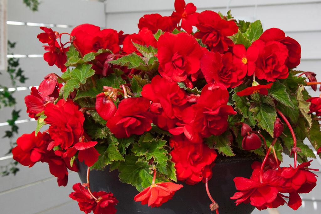 Hängbegonian har fyllda blommor och frodigt bladverk. Passar även som krukväxt inomhus. Foto: Marianne Johansson