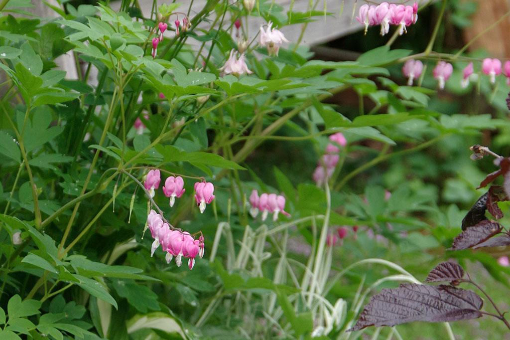 Det rosa löjtnadshjärtat växer lite kraftigare än den vita sorten, men båda är lättodlade och mycket vackra.