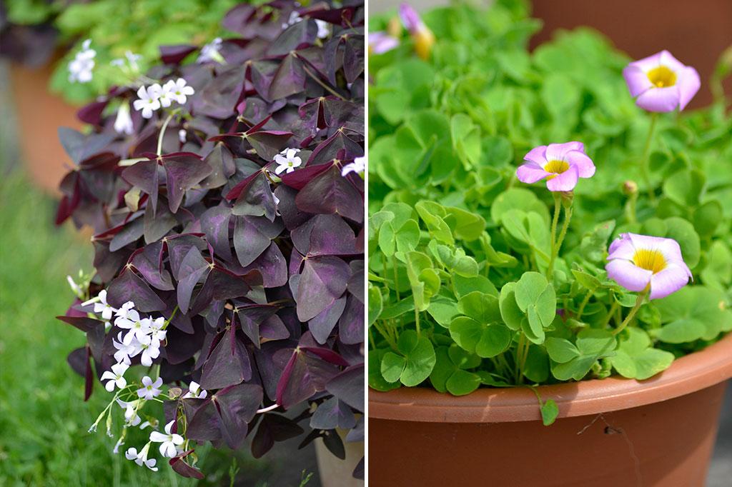 Mörkröd triangeloxalis blommar med små blommor medan den gröna soloxalis har lite större. Varför inte odla båda?