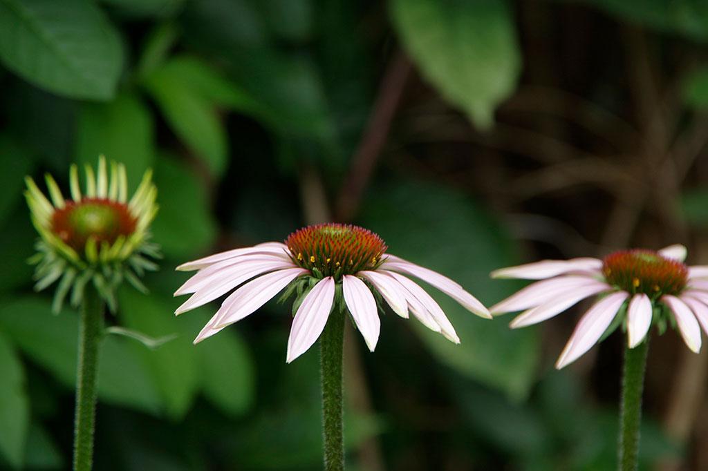 Rudbeckia slår ut mot slutet av sommaren och blir mörkar ju mer utslagen den blir.