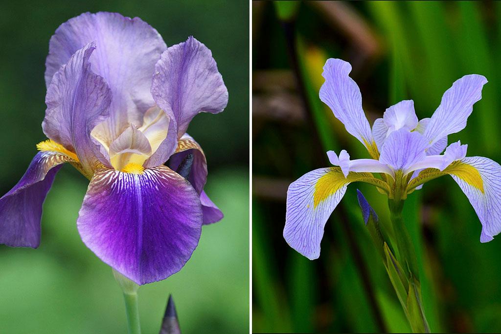 Trädgårdsiris (t.v.) är härdig i hela landet, medan den holländska irisen (t.h.) är lite känsligare.