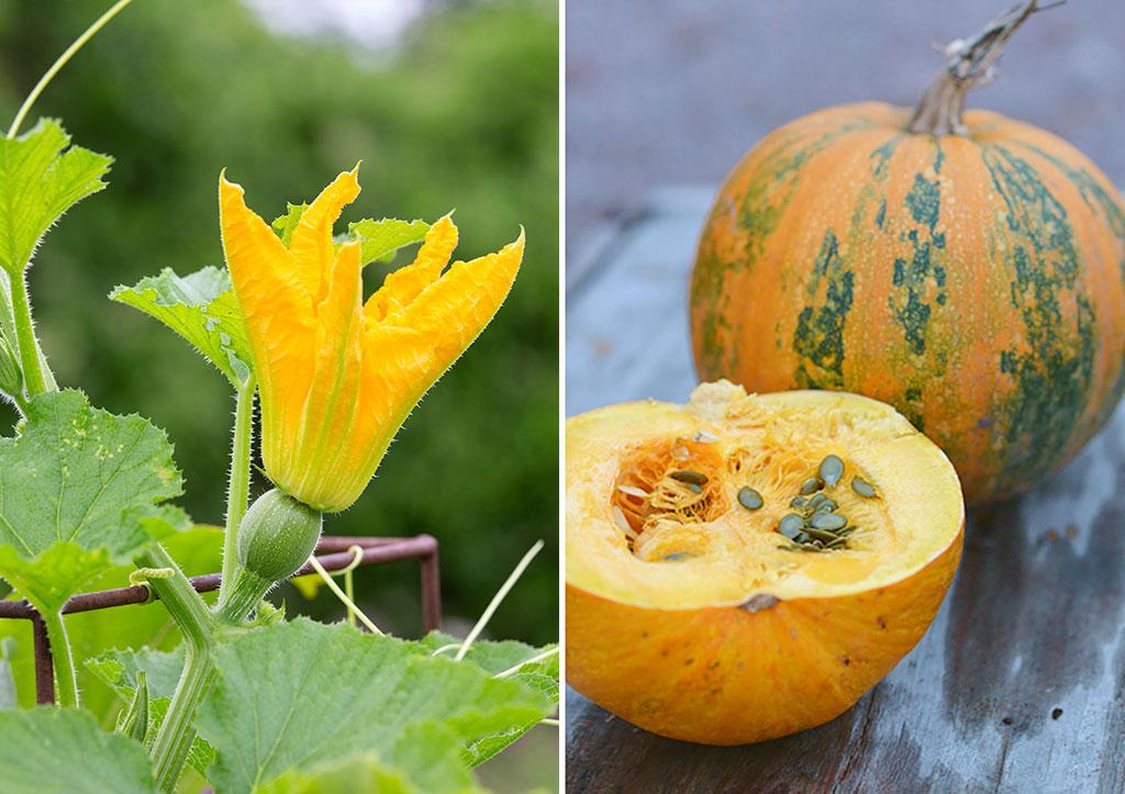 En av årets nyheter är ekologiskt odlat frö till nakenfröpumpa 'Eso'. Förutom vackra blommor, och så småningom pumpor, är både kärnor och fruktkött fantastiskt goda! Fröerna är dessutom helt utan skal och större än hos många andra pumpor. Foto: Annika Christensen och Anna Lindeqvist