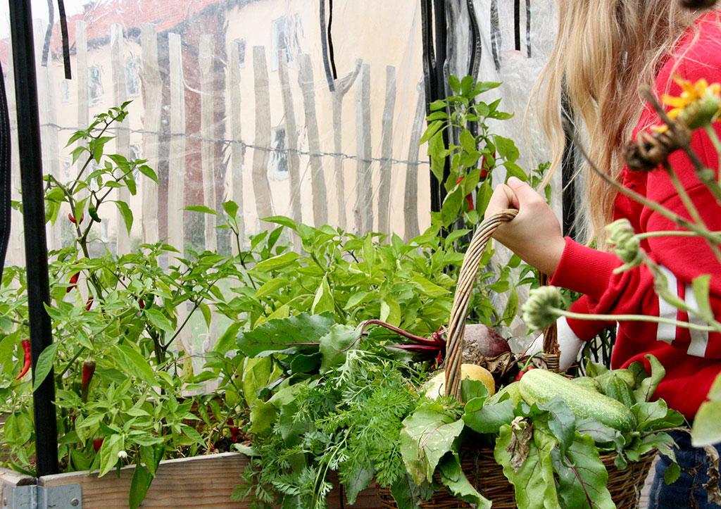 Under sommarlovet sköter sig odlingen på Axonakolan i Tollarp mer eller mindre på egen hand – trots detta finns det mycket att skörda vid höstterminens början. Foto: Philip Palmstierna