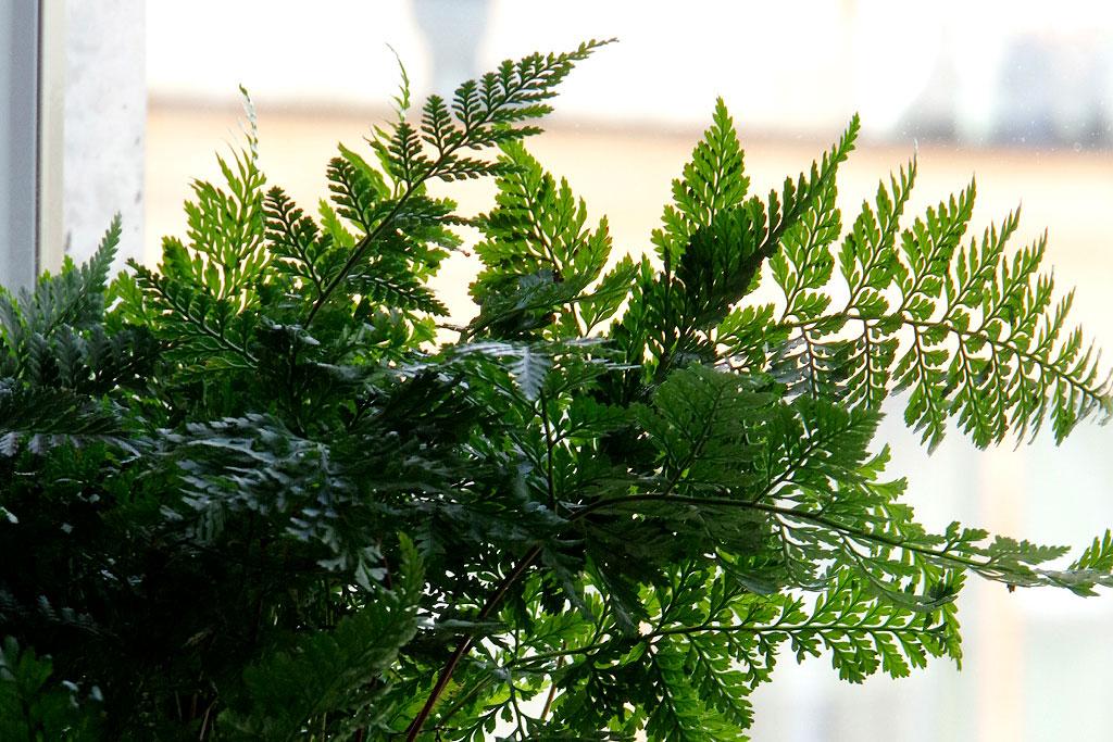 Gröna krukväxter som ormbunke kan må gott av en liten skvätt näring då och då, även under vintern.