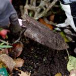 Plantera tulpaner i november