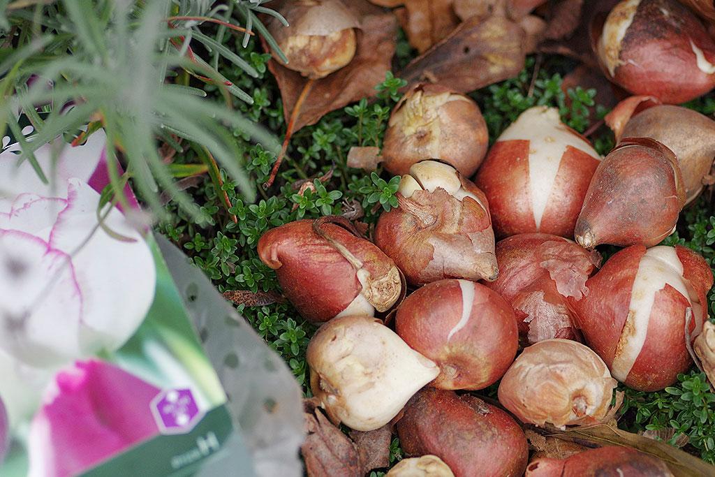 Tulpanlökar som varken torkat ut eller börjat mögla går utmärkt att plantera sent på året.