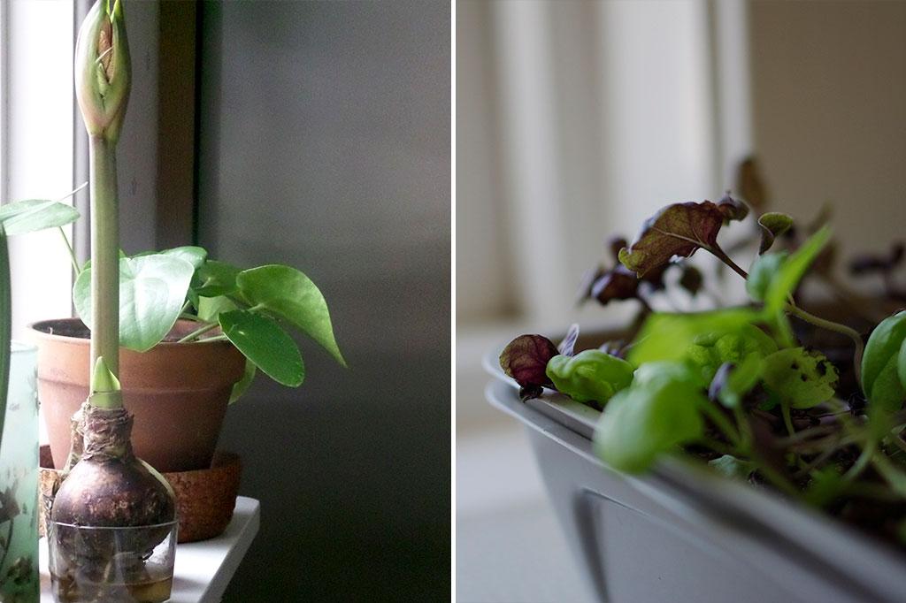Amaryllis, krukväxter och kryddor – visst fortsätter de att växa under vintern!