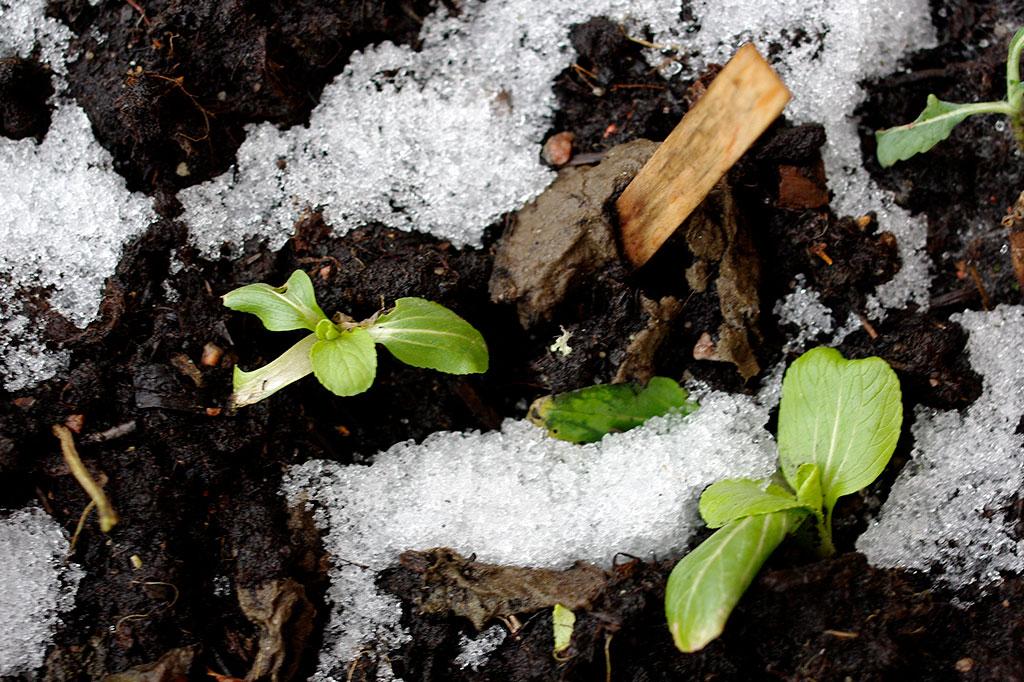 Pak choi är en av många kålsorter som ofta klarar ganska tuff kyla. Även om plantan sett ledsen ut under vintern, kan den vakna till liv igen på vårkanten.