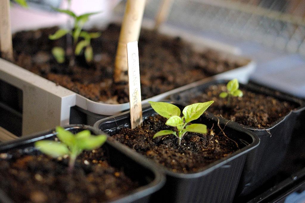 Många chilisorter är bra att så under vintern. Tänk på ett de behöver ljus för att bli starka små plantor.