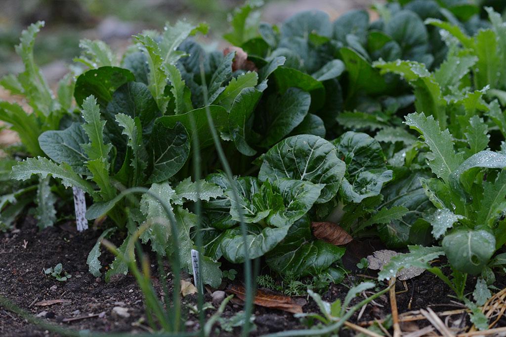 Så mycket av dina favoritgrönsaker – de växer inte särskilt mycket på senhösten, men står sig fint i kylan. Foto: Anna Lindeqvist