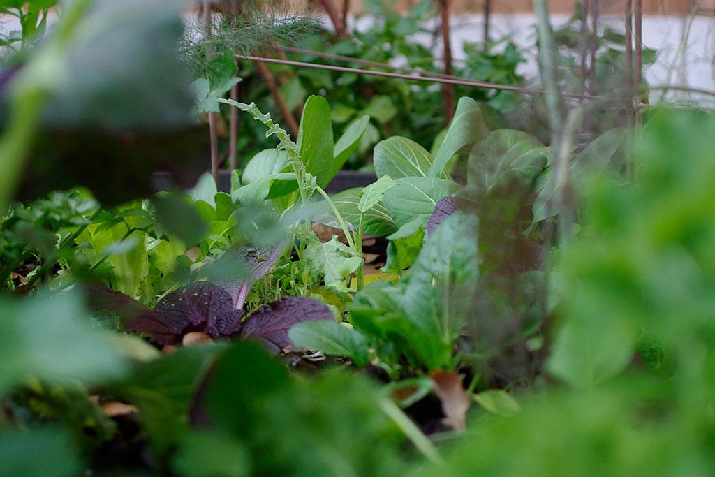 Asiatiska bladgrönsaker växer fint på hösten. Foto: Lovisa Back