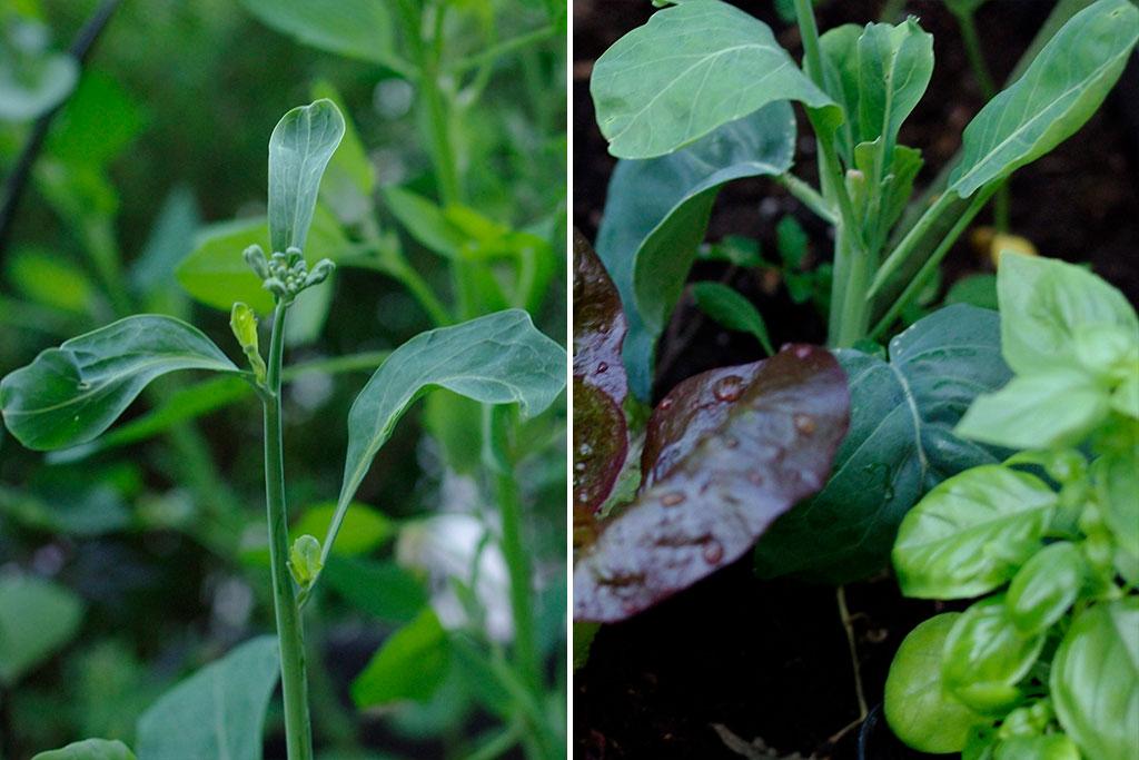 Daggkålen går, liksom många andra kålsorter, lätt i blom under försommaren. Hela plantan går dock att äta. Foto: Lovisa Back