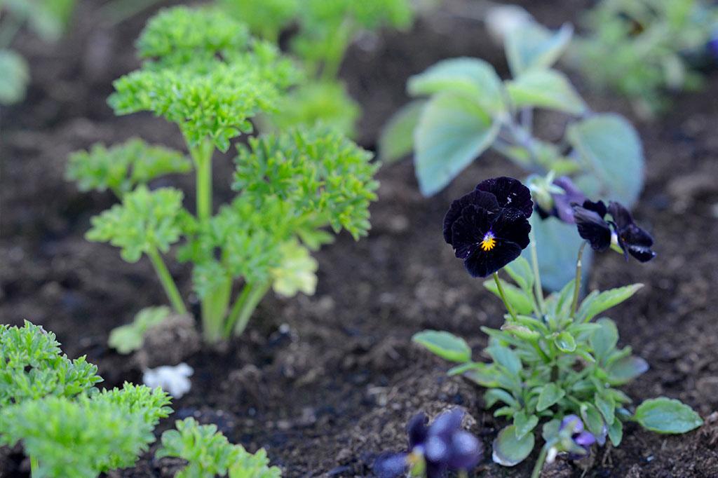 Det vanligaste sättet att odla persilja är inte i trädgårdslandet eller pallkragen tillsammans med andra grönsaker eller blommor. Foto: Anna Lindeqvist