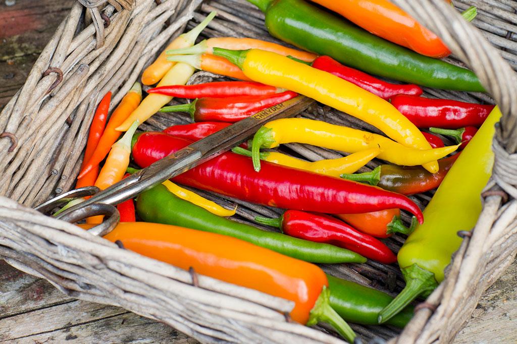 Chili finns i all möjliga färger, former och inte minst styrkor. Foto: Annika Christensen