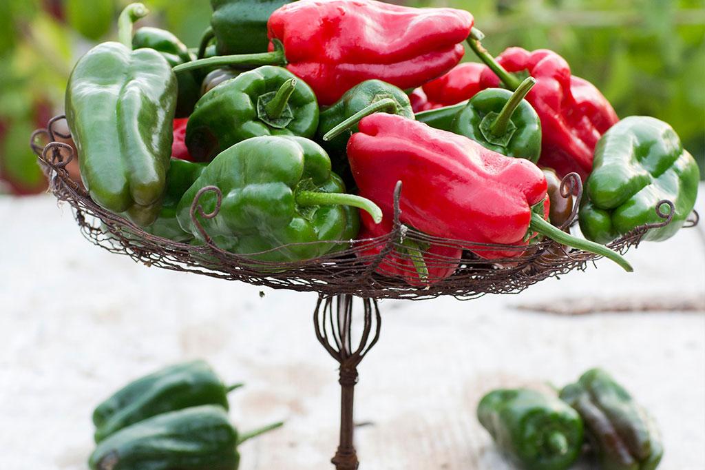 'Padron' är en tapaschili som höjer spänningen. Sorten skördas traditionellt när den är ljusgrön, men du kan också vänta tills frukten har blivit röd. Foto: Annika Christensen