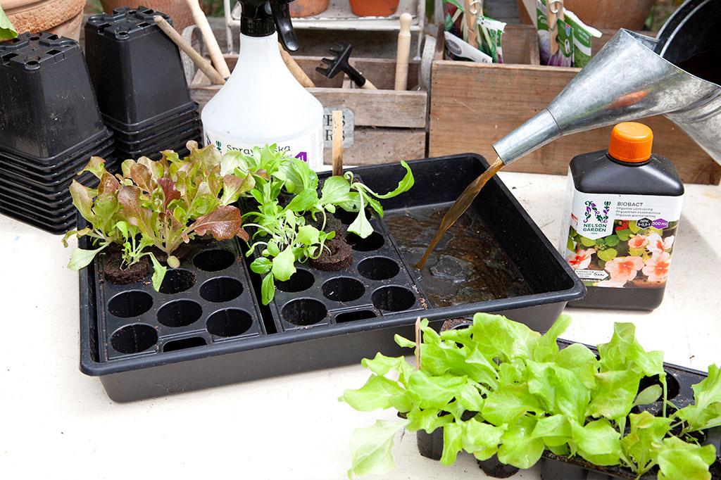 Flytande näring som Biobact passar också utmärkt att ge till dina frösådder som fått stå lite längre än planerat i sina odlingspluggar. Foto: Annika Christensen