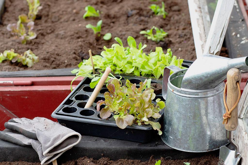Odlar du i en pallkrage är det smidigt att ha plantor att sätta ut när du skördat slut på de första. Foto: Annika Christensen