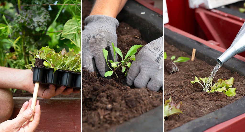 Med ett minipluggbrätte slipper du störa plantornas rötter när du sätter ut dem i trädgårdslandet. Foto: Annika Christensen