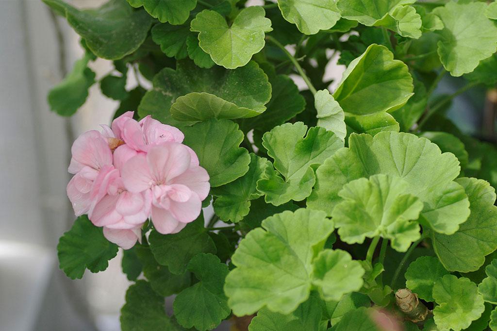 Pelargonernas friska bladverk är nog så vackert i sommarsolen.