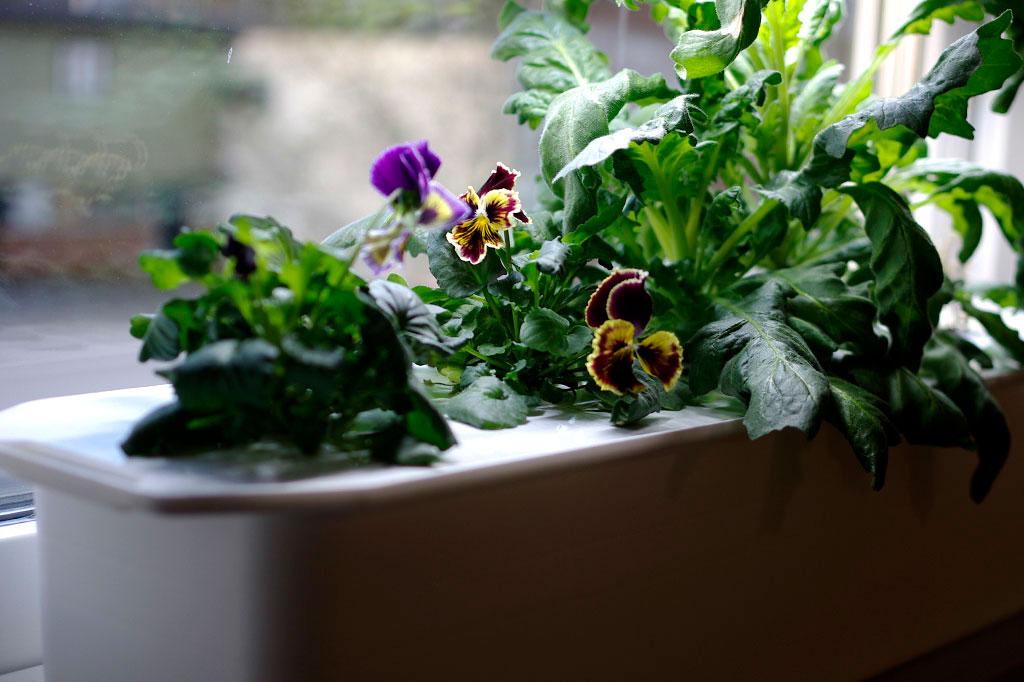 Även blommor som penséer trivs fint i en hydroponisk odling.
