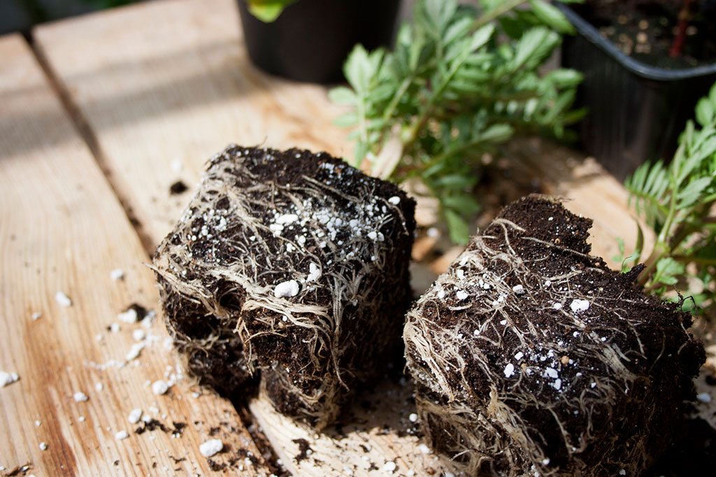 Perlite hjälper till att hålla jorden kring dina plantors rötter luftig utan att torka ut.