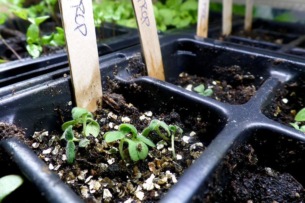 Vermiculite passar utmärkt till dina sådder av pyttesmå, ljusgroende blomfröer.