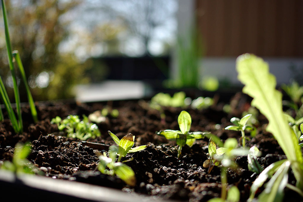 Bara de starkaste fröerna – och de som har bäst timing – överlever. I gengäld ger dina vintersådder ofta starka och friska plantor. Foto: Lovisa Back