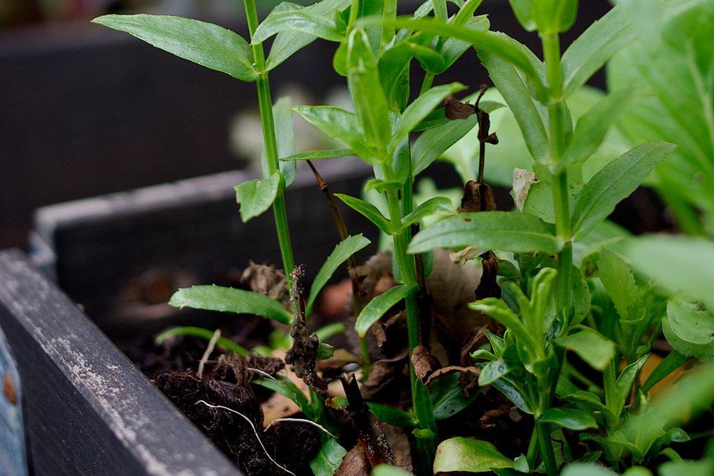 Drakmyntan är en av många växter som gärna självsår sig – naturens egen vintersådd! Foto: Lovisa Back