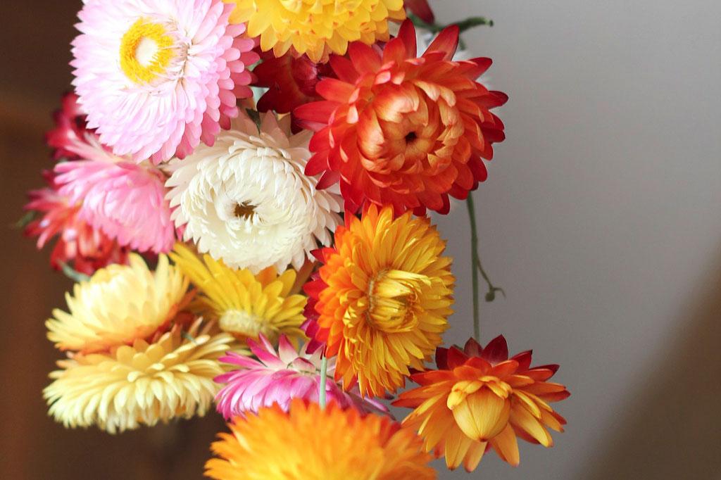 Eterneller – blommor att torka från Nelson Garden