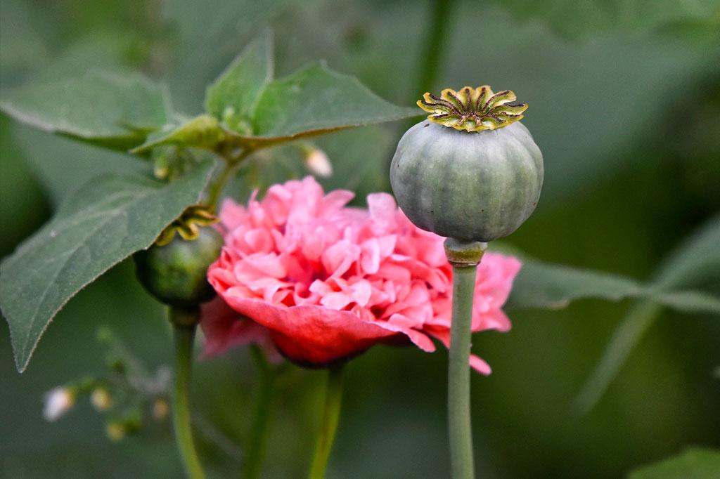 Pionvallmo är inte bara enastående vacker när den blommar – precis som andra sorters vallbo har den ljuvliga frökapslar.