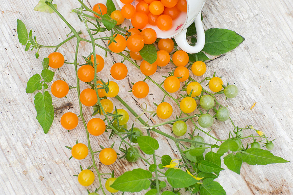 'Golden Currant' är en högväxande tomat som ger många, vindruvsstora, tomater. Foto: Annika Christensen
