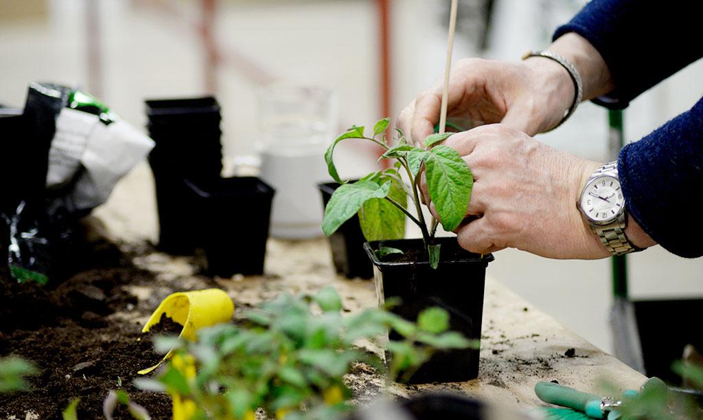 Även små tomatplantor kan behöva stöd i början. Foto: Lovisa Back