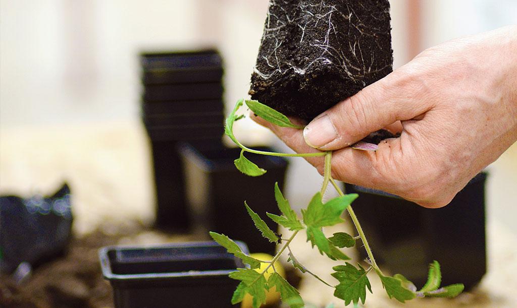 Plantera gärna om tomaterna stegvis. Låt rotsystemet fylla krukan innan du planterar om till en större kruka. Foto: Lovisa Back