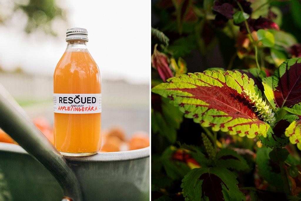 När juicen har pressats återstår fruktrester som komposteras och kan användas för att spetsa till blomjorden. En säck med 8 l Räddad jord kostar 79 kr och passar dig som vill skämma bort några av dina plantor lite extra. Foto tv: Rescued