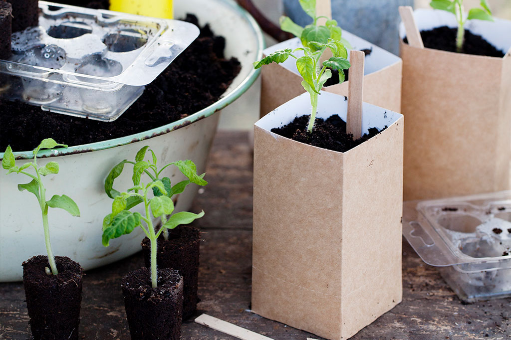 När dina plantor har fått sina karaktäristiska taggiga blad är det dags att plantera om dem för första gången. Foto: Annika Christensen