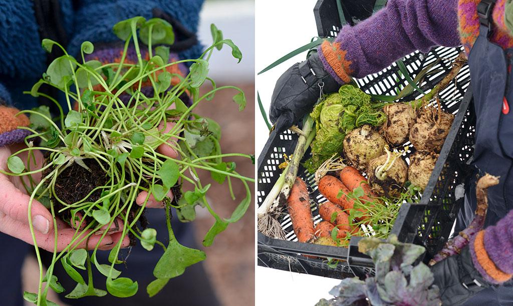 Vinterportlak, vintermorötter, savojkål purjolök och rödkål är bara några av de grönsakssorter som finns i kollektionen Så året runt – och som växer i Skillnadens trädgård. Foto: Markus Danielsson