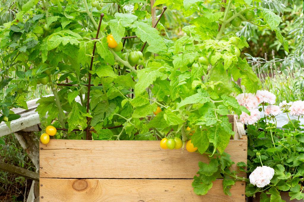 På fröpåsen står det hur hög tomatsorten brukar bli samt om den passar bäst att odla utomhus eller i växthus. Foto: Annika Christensen
