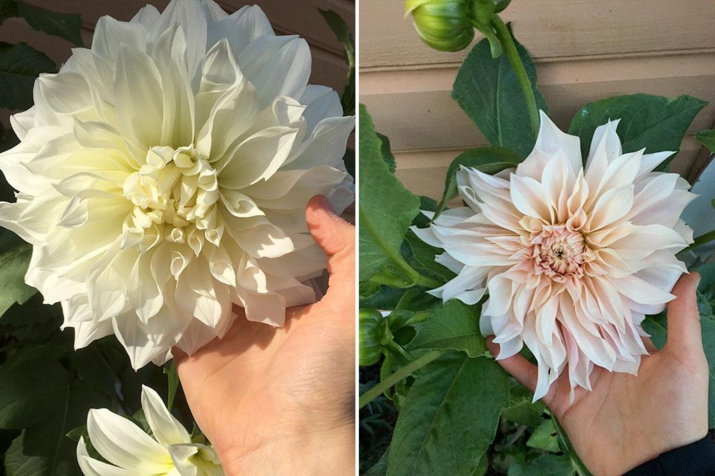 Storleken på blomman varierar – i synnerhet om den blommar rikligt med många blommor på samma gång. De allra största brukar i regel komma vid början av blomningen.