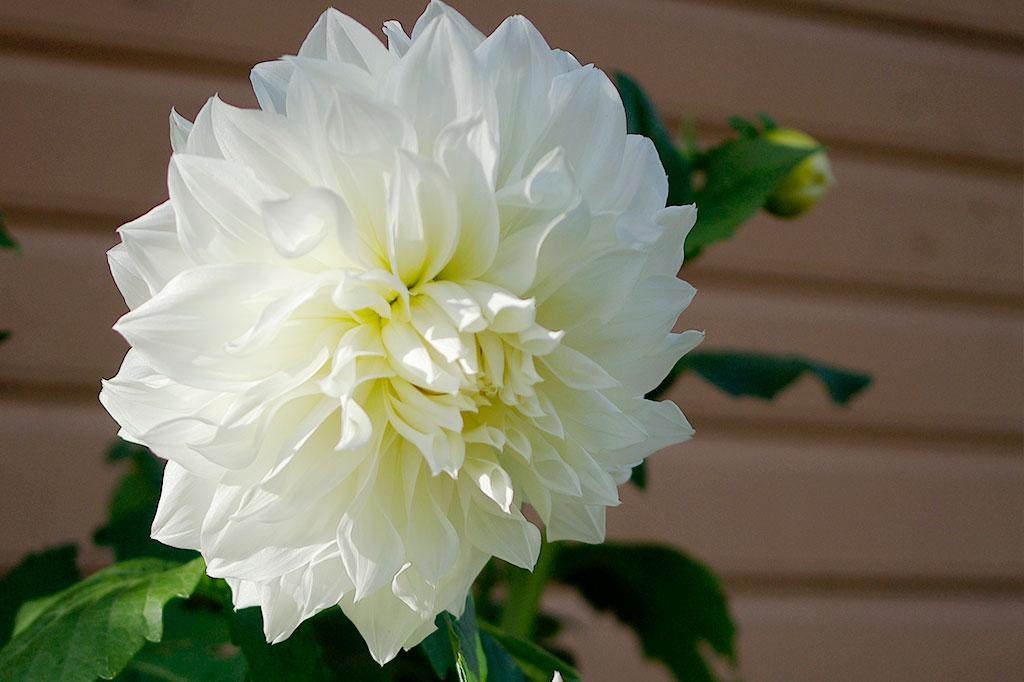 Fleurel är en ljuvlig, vit dinnerplatedahlia som ger sken av att vara betydligt mer kräsen än den är.
