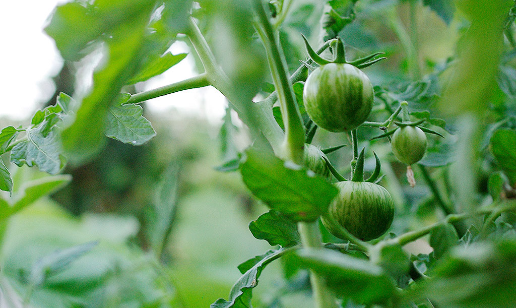 För att utveckla frukt behöver tomatplantan lite annan typ av näring än när den växer blad. Plantan reglerar detta själv, men det är viktigt att alla näringsämnen den behöver finns i jorden. Foto: Lovisa Back